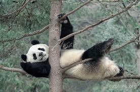panda is back