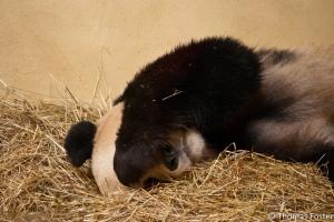 sick panda